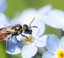 Halictidae Bee on Forget-Me-Nots Sticker