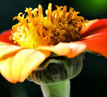 Tithonia (Mexican Sunflower) - Afternoon Light by T.J. Martin