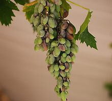 wine grapes by Cforster
