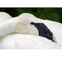 Trumpeter Swan at Rest Photographic Print
