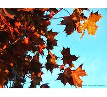 Red Maple Photographic Print