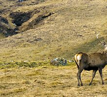 Wild Deer Stag by David Alexander Elder
