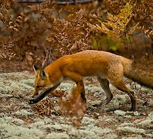 Red Fox by Michael Cummings