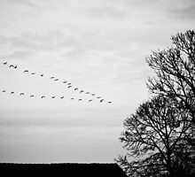 Swarm of geese by SylBe