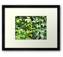 Green leaves with water droplets Framed Print