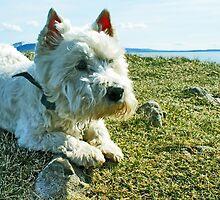 West Highland Terrier by David Alexander Elder
