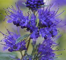 Dark Knight (Bluebeard) - Verbena by T.J. Martin