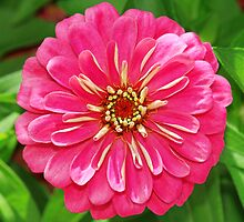 Pink Zinnia by cdfeag65202