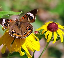 Buckeye Butterfly On Sunflower by cdfeag65202