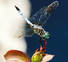 Blue Dasher Dragonfly by cdfeag65202