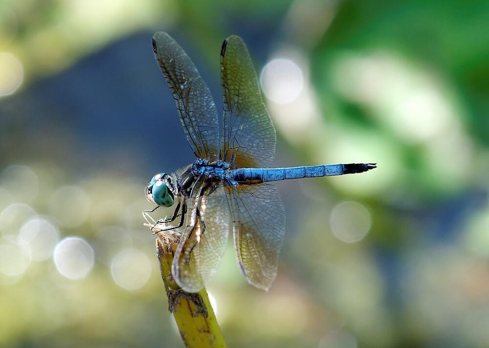 Dragonfly Elegance by cdfeag65202