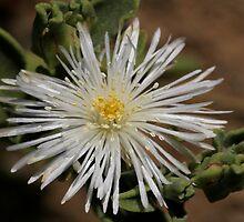 Brakslaai - Mesembryanthemum guerichianum - Ice Plant    by Rina Greeff