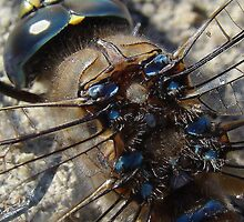 Dragonfly Back Macro by PatChristensen