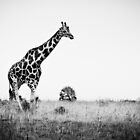 Walking giraffe by Max Franceschini