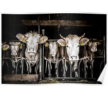Cows! Poster