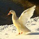 Gee my beak is cold!!! by Susan Blevins