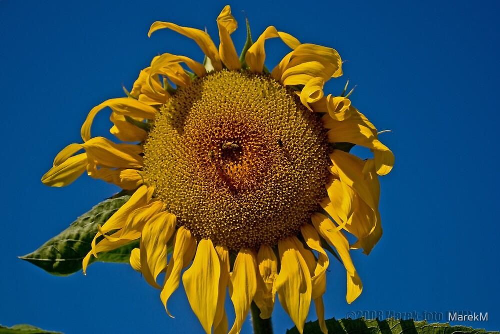 Sunflower by MarekM