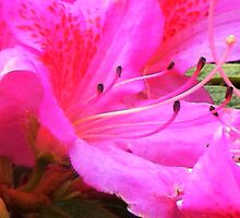 Hot Pink Rhodie  by TeaAira