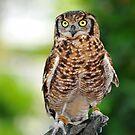 eurasian eagle owl by neil harrison