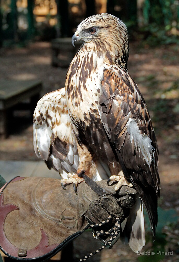 Griffin Stance - Rough Legged Hawk, Lake Placid New York by Debbie Pinard