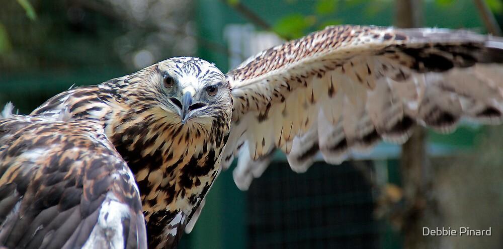 Stretching His Good Wing - Rough Legged Hawk, Lake Placid New York by Debbie Pinard