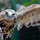 Stretching His Good Wing - Rough Legged Hawk, Lake Placid New York by Debbie Pinard