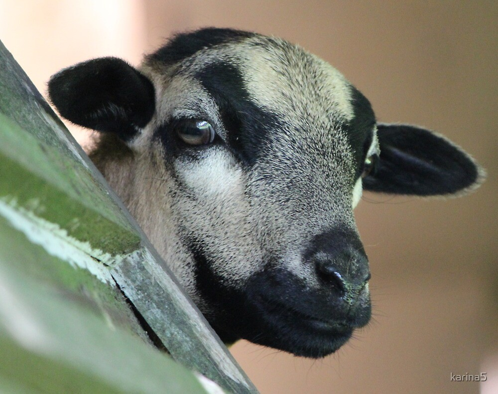 Curious Cameroon Sheep by karina5