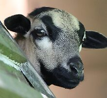 Curious Cameroon Sheep by karina5
