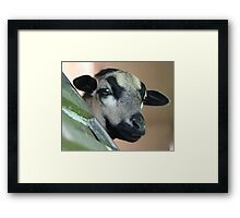 Curious Cameroon Sheep Framed Print