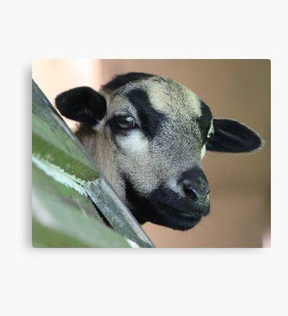 Curious Cameroon Sheep Canvas Print