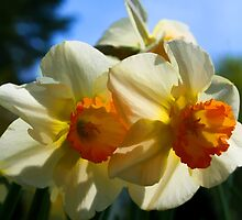 Daffodils In Spring by Randall Faulkner