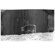 Lonely Cow in Black and White Poster