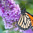 Late Season Monarch by Yvonne Roberts