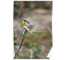 Mantis Orchid - Arachnorchis tentaculata and pollinator Poster