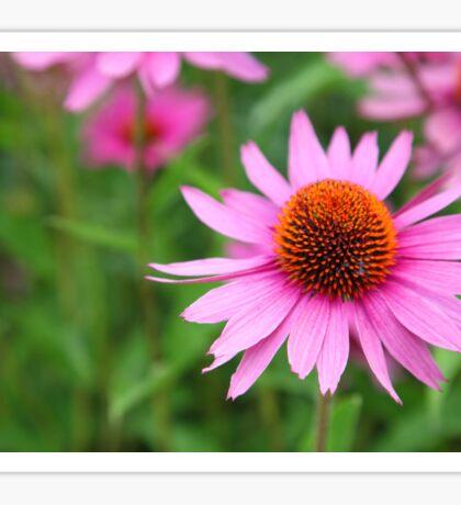 Echinacea  Sticker