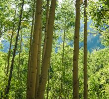 Aspen Trees Sticker