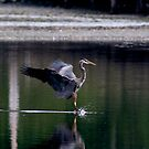 Landing Great Blue Heron by JasPeRPhoto
