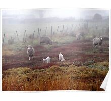 Sheep at Ross Poster