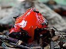 Red Mushroom In The Rain - Hygrocybe conica by MotherNature