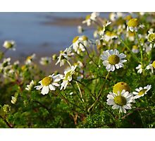 Daisies on the cliff at Nefyn, Llyn, North Wales Photographic Print