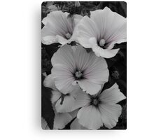 White Lavatera with Pink Highlights Canvas Print