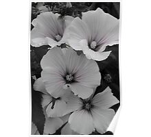 White Lavatera with Pink Highlights Poster