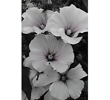 White Lavatera with Pink Highlights Photographic Print