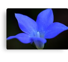 Wahlenbergia stricta Canvas Print