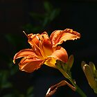 Flower against a dark background by mski