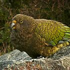 Kea - New Zealand Alpine Parrot by ChrisNZ
