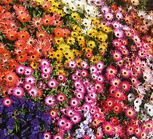 Livingstone daisies and pansies by Marilyn Baldey