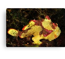 Clown Frogfish Canvas Print