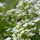 Bug on Alysium Plant by Karen McGrath