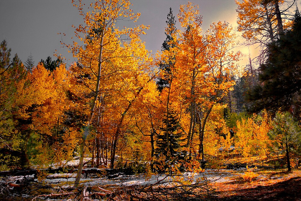 Where The Gold Is ~ Aspen Trees ~ by Charles & Patricia   Harkins ~ Picture Oregon